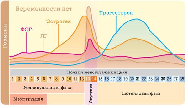 график полного менструального цикла. Беременности нет