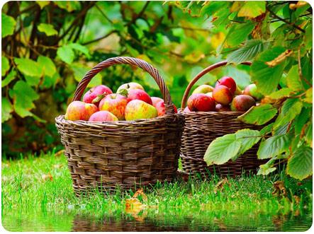 Две корзины со спелыми яблоками