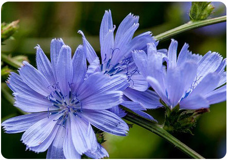 Цикорий цветет
