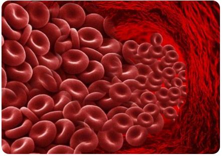 Клетки крови циркулируют по сосудам
