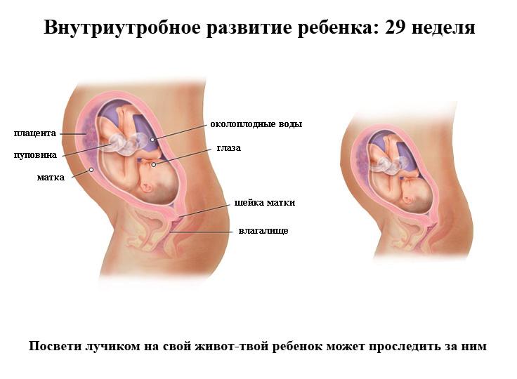 Внутриутробное развитие ребенка на 29 неделе