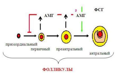 Антимюллеров гормон