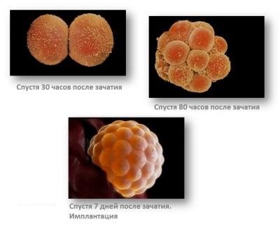Деление клетки после зачатия