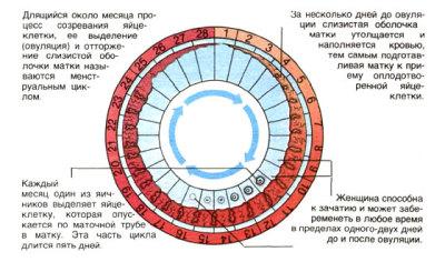 Менструации и менструальный цикл