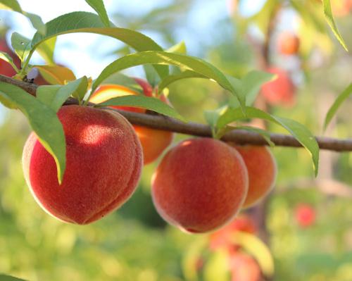 Персик - кладезь витаминов