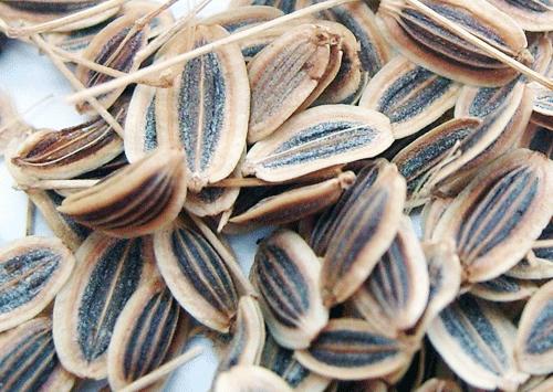 Семена укропа. Фото