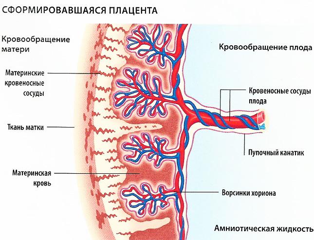 Схема плаценты