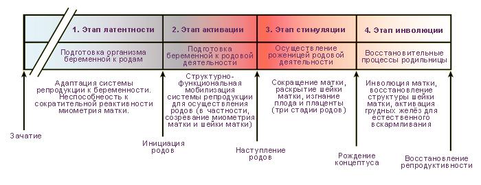 Теоретическая последовательность этапов беременности и родов