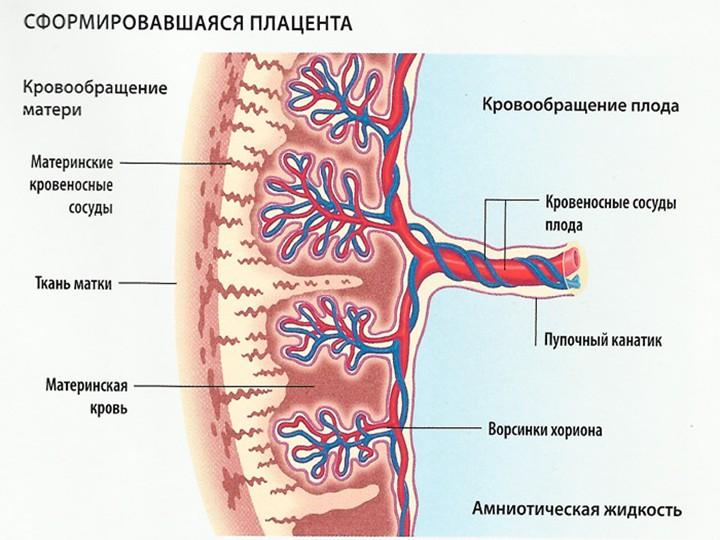 Какие функции выполняет плацента в организме беременной женщины