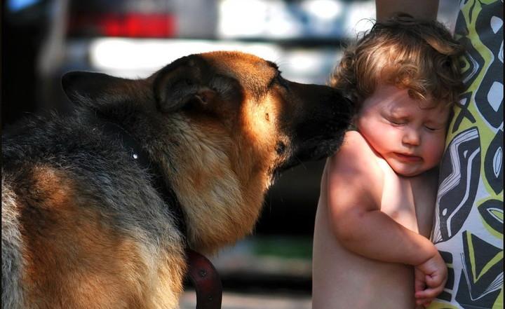 Овчарка обнюхивает ребёнка